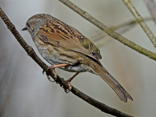 dunnock in fake tree