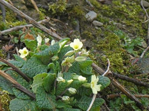 early primroses