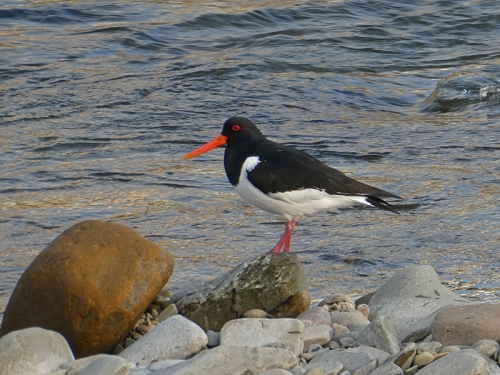 evening oyster catcher