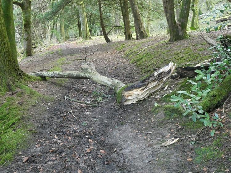 fallen tree near Duchess Bridge