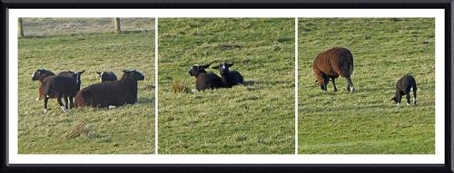 first lambs glenzier