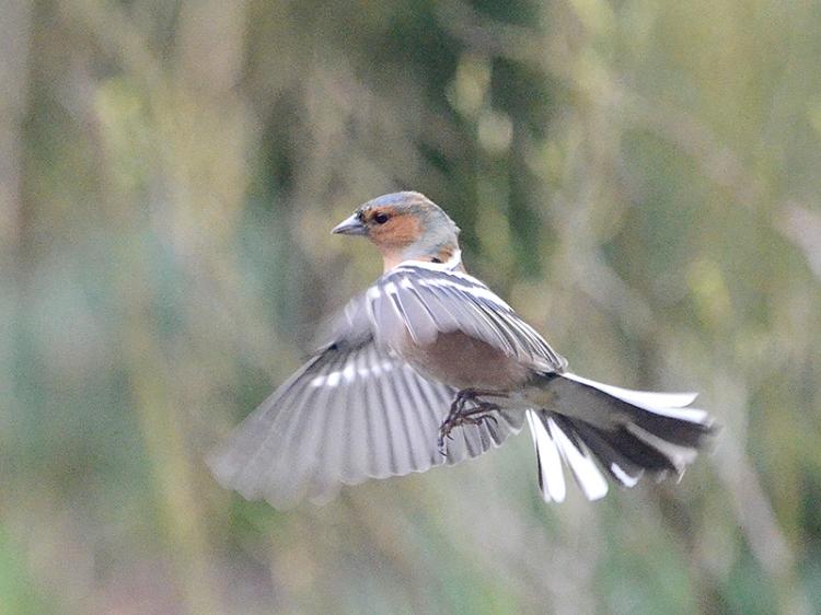 flying chaffinch
