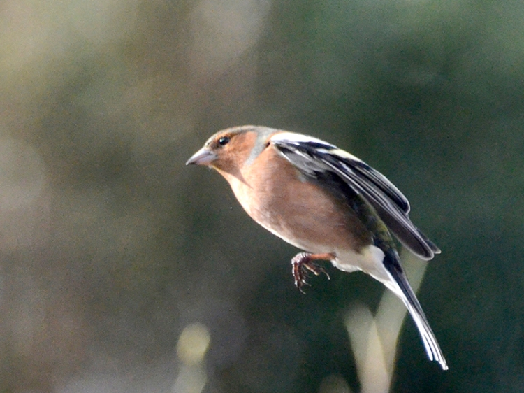 flying chaffinch close