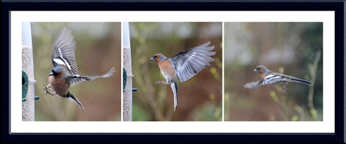 flying chaffinch male panel