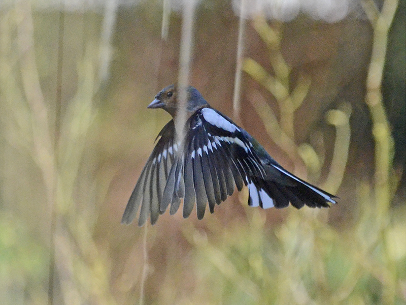 flying chaffinch with reflections