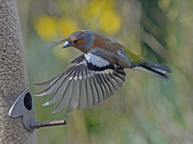 flying chaffinch with style