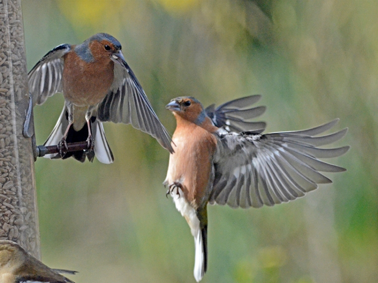 flying chafinches