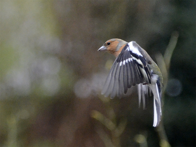 flying chffinch