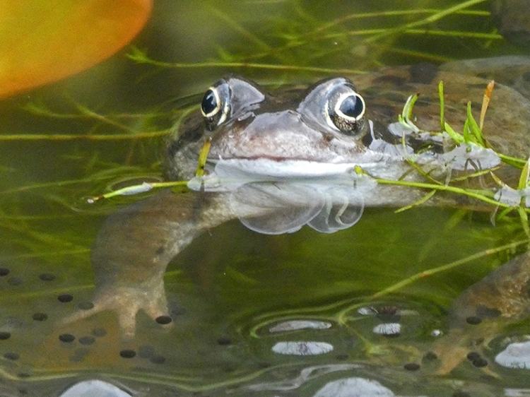 frog in pond with leg