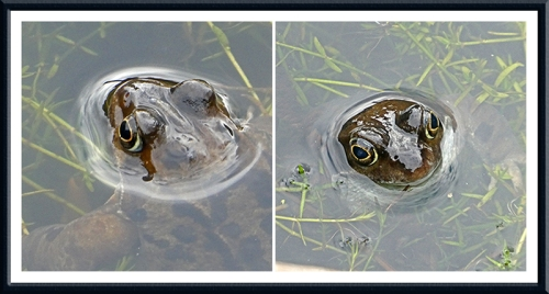 frogs on pond