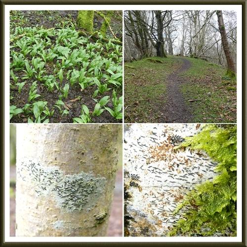 garlic, bluebell, script lichen