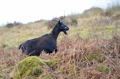 goat profile