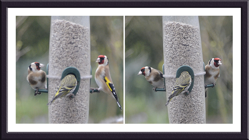 goldfinch contrast