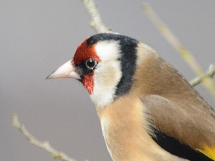 goldfinch head