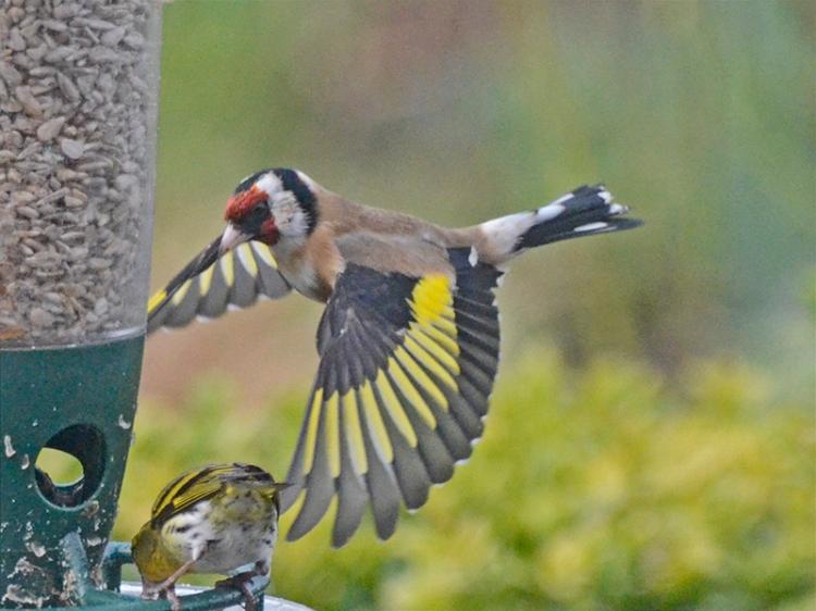 goldfinch near to feeder