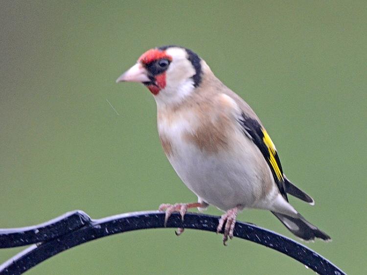 goldfinch on feeder