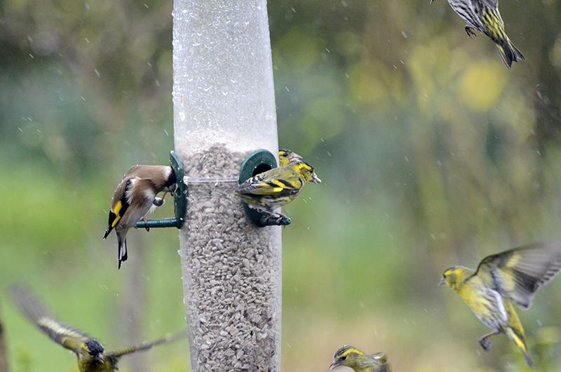 goldfinch tucking in
