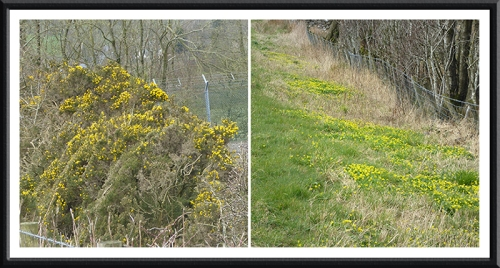 gorse and celandine gair road