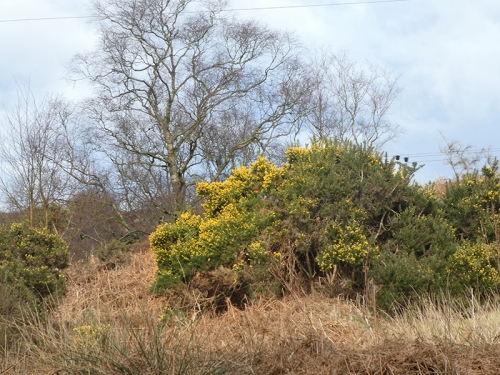 gorse on broonholmshiels track