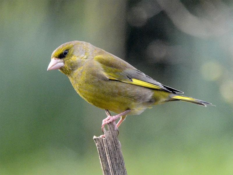 greenfinch on stalk