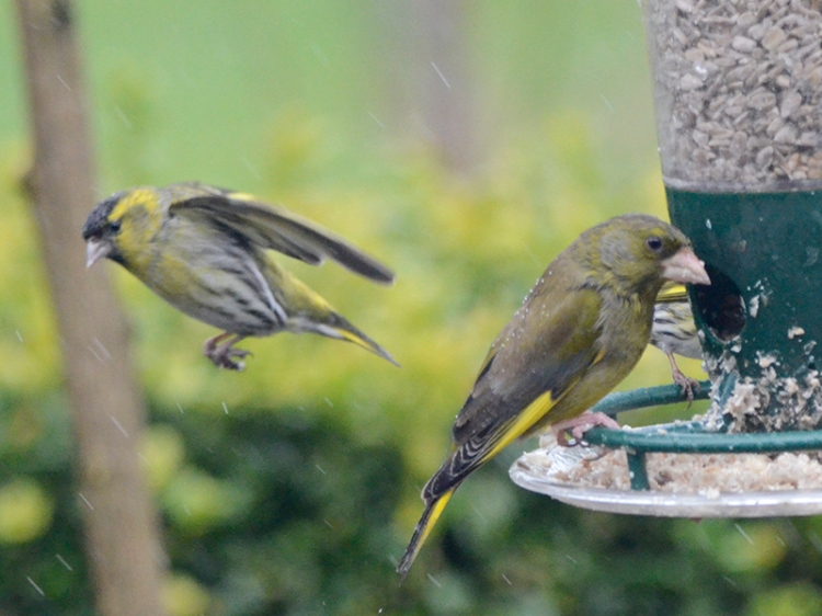 greenfinch unmoved