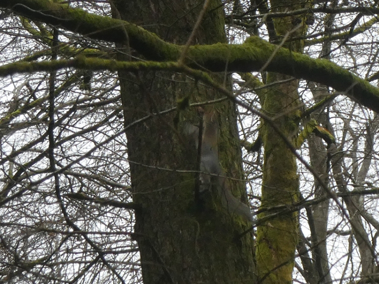 grey squirrel eastons
