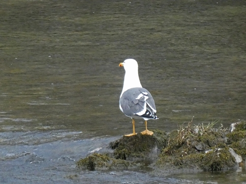 gull back
