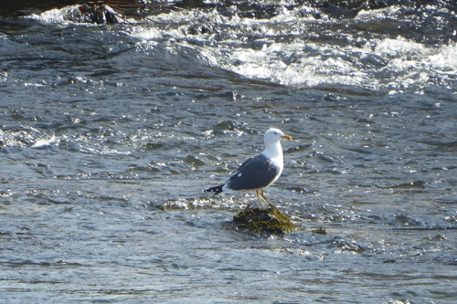 gull in sunshine