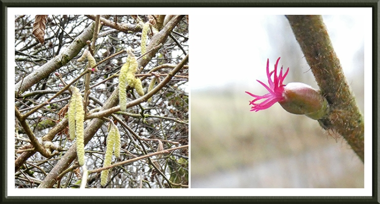 hazel catkin and hazel flower