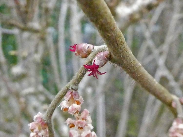 hazel flower and catkin