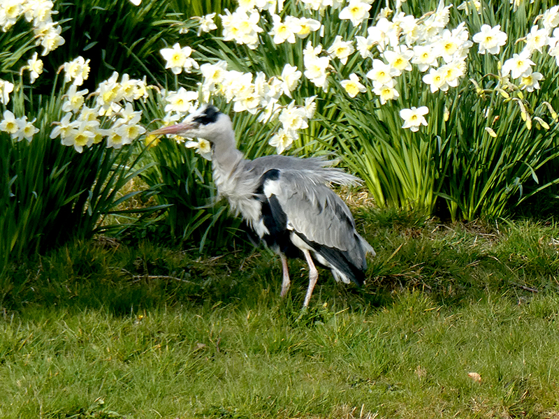 heron and daffodils kirk brig