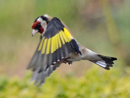 hunched flying goldfinch