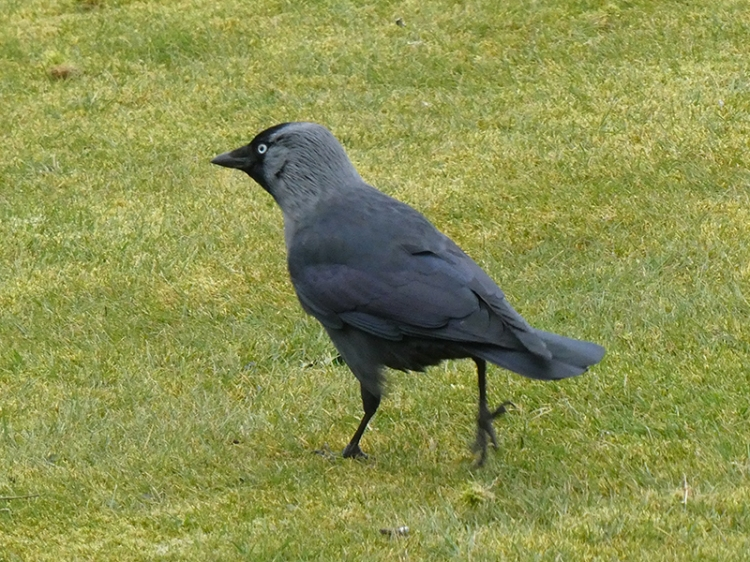 jackdaw leaving after lawn pecking
