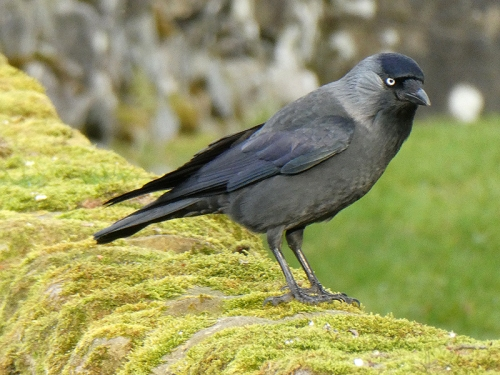 jackdaw on park wall
