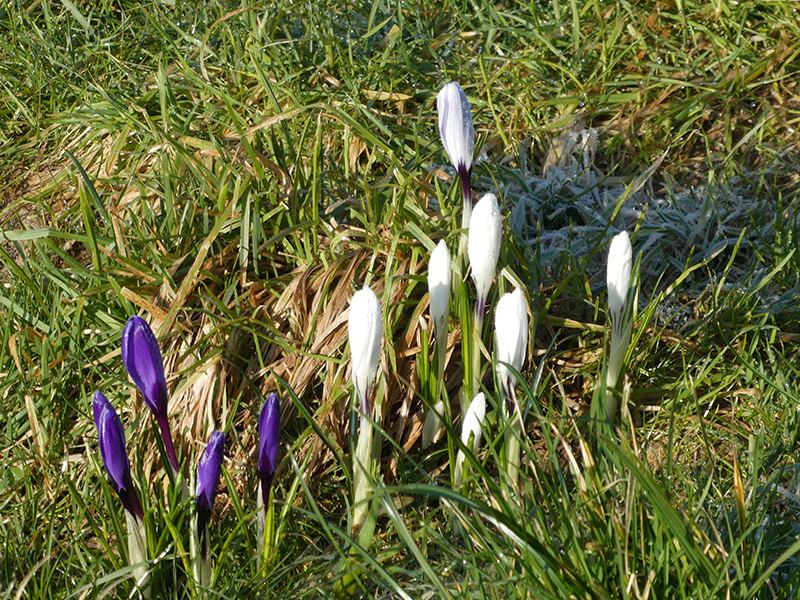 kilngreen crocuses
