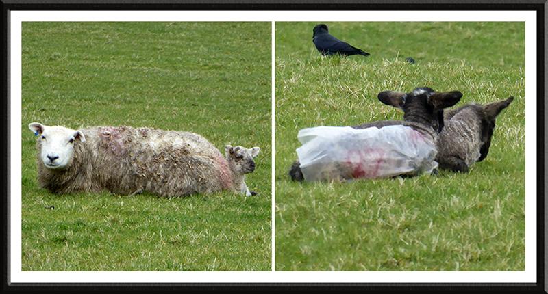 lambs at Hollows