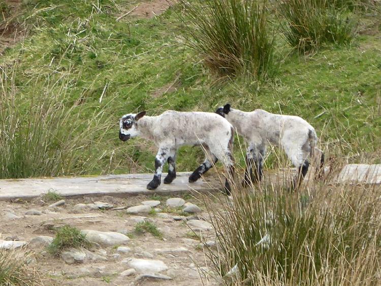lambs going trip trap