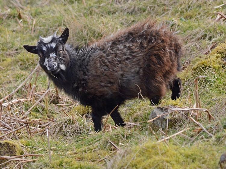 large kid goat