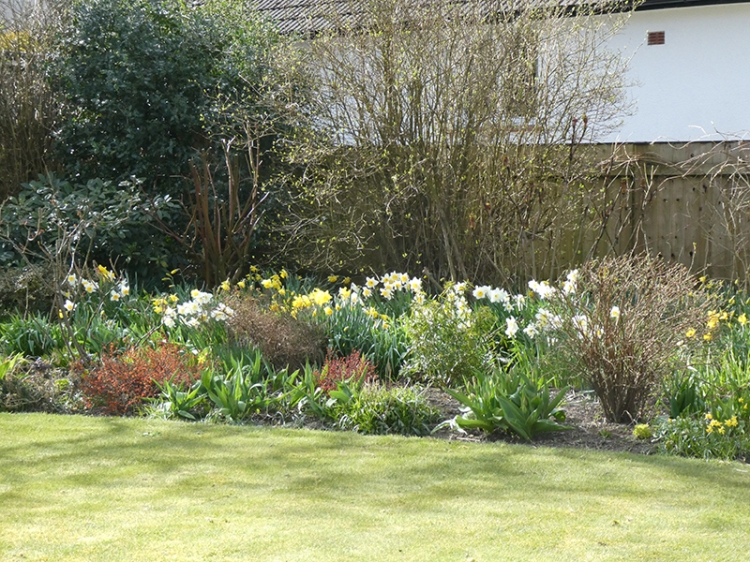 lawn and daffs