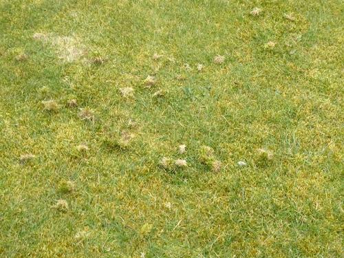lawn pecking