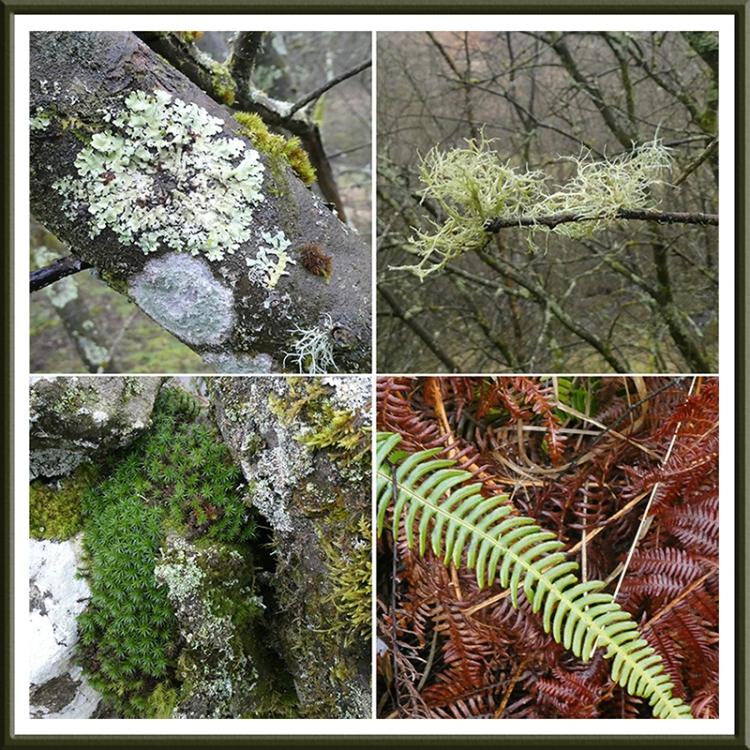 lichen, moss, fern rashiel road