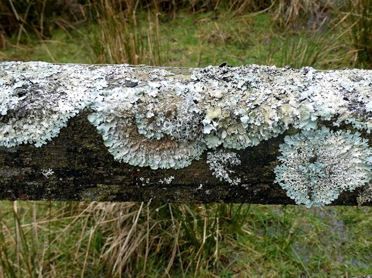 lichen on gate