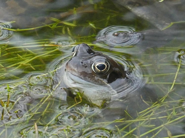 lone frog in pond