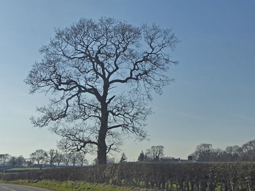 longtown road tree