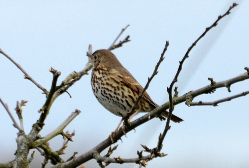 meadow pipit on plum tree