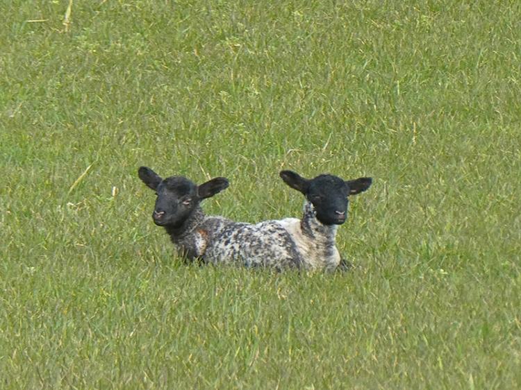 milnholm lambs