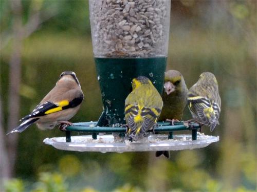 mixed birds on feeder