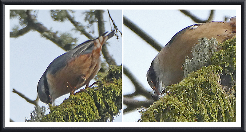 nuthatch on branch