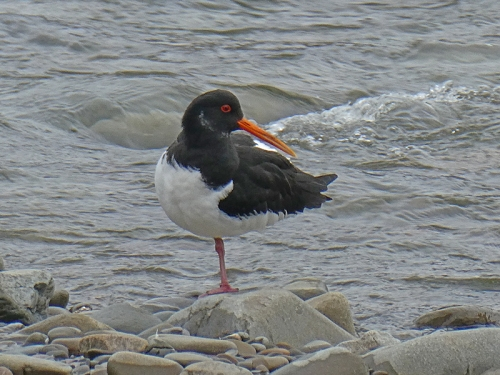 oyster catcher one leg