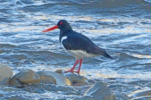 oyster catcher two legs